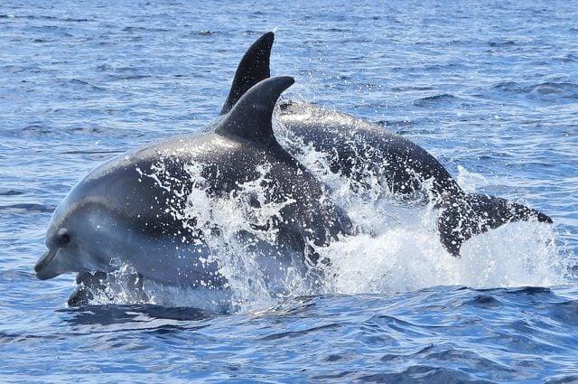 Tursiopi nell'Oceano Atlantico. Credit: Andrea Centini