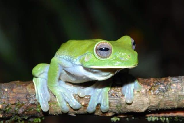 Litoria pterodactyla. Credit: Stephen Richards