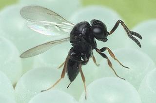 In Italia è guerra tra insetti: schierare le vespe samurai contro le cimici asiatiche