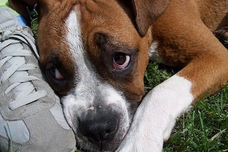 I cani fanno lo 'sguardo triste' per attirare le nostra attenzione: ecco perché ci caschiamo