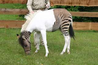 Cos'è uno zebroide, il curioso ibrido tra un cavallo e una zebra: le immagini