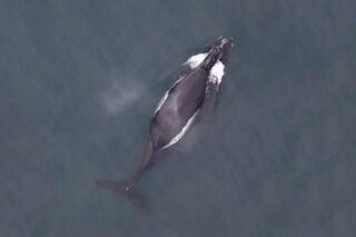 Ascolta il canto delle rarissime balene franche nordpacifiche: registrato per la prima volta