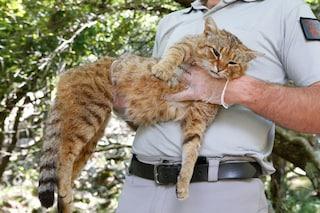 Chi è il gatto volpe, il misterioso ed elusivo felino della Corsica: forse è una nuova specie