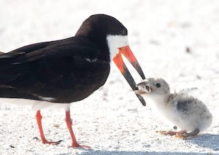 La foto choc dell'uccello marino che dà da mangiare un mozzicone di sigaretta al suo piccolo