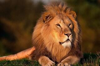 14 leoni in fuga dal Parco Nazionale Kruger, in Sudafrica: autorità lanciano l'allarme