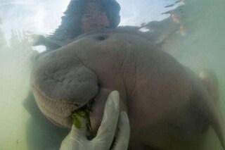 Marium, cucciolo di dugongo, si è persa nell'oceano: nutrita con latte ed erba per salvarla