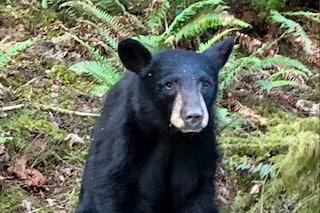"""Agenti sparano a un giovane orso nero perché diventato """"troppo amichevole"""" con l'uomo"""