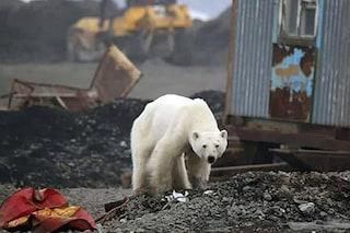 Orso polare stremato cerca cibo tra i rifiuti di Noril'sk, in Siberia: le immagini drammatiche