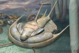 """Il """"re"""" dei trilobiti emerge da un sito fossile australiano: chi era il Redlichia rex"""