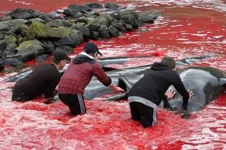 Altre 21 balene pilota massacrate alle isole Faroe: già 480 i cetacei uccisi nel 2019