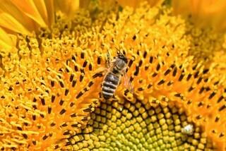 Le api collegano i simboli ai numeri: il loro cervello è super matematico