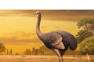 Fossile di un enorme uccello estinto emerso in Crimea: chi era il Pachystruthio dmanisensis