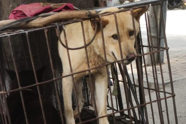 Festival Yulin, torna il crudele massacro dei cani in Cina VIDEO