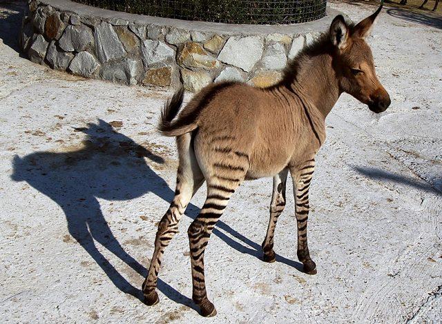 Zonkey: un ibrido tra zebra e asino