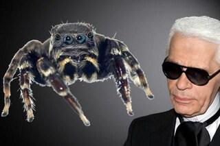Il ragno 'Karl Lagerfeld', appena scoperto, è già una celebrità: perché lo hanno chiamato così