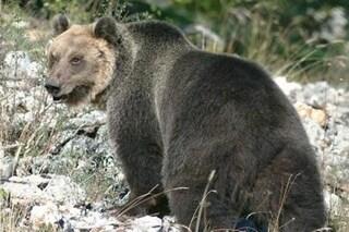 L'orso M49 non si tocca (per ora), parola di ministro Costa: perché c'è chi vuole catturarlo