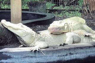 Coppia di alligatori albini dà alla luce 19 rarissime uova: le immagini straordinarie