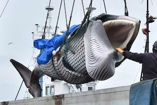 Ripresa la caccia commerciale alle balene in Giappone dopo 30 anni: ucciso il primo esemplare