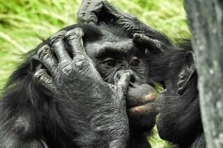 Le scimmie, come noi, diventano più amiche tra loro quando guardano Temptation Island insieme