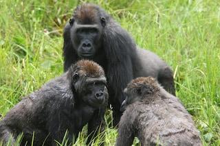 I gorilla organizzano 'festival' come noi: si radunano con amici e parenti