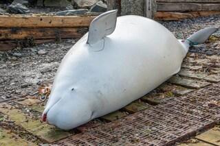 Mamma beluga muore durante il parto, forse a causa nostra. Le immagini strazianti