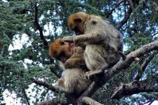 Scimmie come umani: bertucce adottano Pipo, un esemplare sconosciuto rimasto solo e ferito