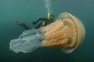 Avvistata medusa gigante, grande come un uomo: è un Polmone di mare. Dov'è in Italia e rischi