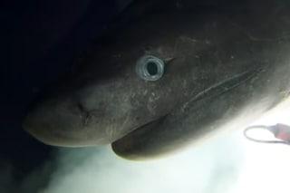 Un misterioso squalo capopiatto filmato da un sottomarino: le rare e meravigliose immagini