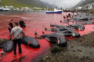 23 balene pilota massacrate a coltellate alle Faroe: anche due femmine incinte e un piccolo