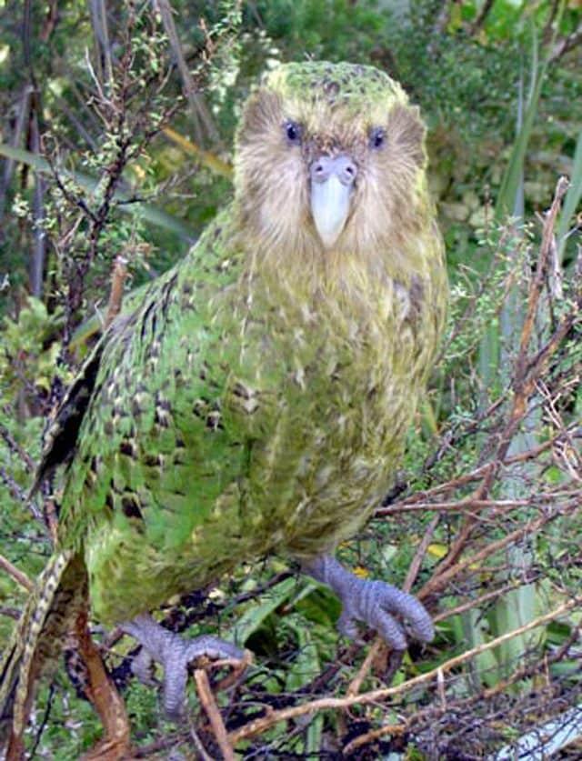 Pappagallo Gigante Estinto Scoperto In Nuova Zelanda L