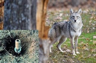Bombe al cianuro per uccidere animali selvatici: amministrazione Trump le autorizza di nuovo