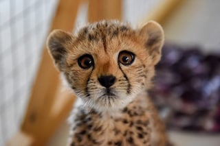 I ghepardi rischiano l'estinzione a causa dei super ricchi: felini esposti come status symbol