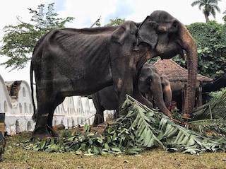 Tikiiri, l'elefantessa di 70 anni obbligata a sfilare malata e denutrita