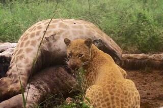 Meraviglioso e rarissimo leopardo fragola avvistato in Sudafrica: le splendide immagini