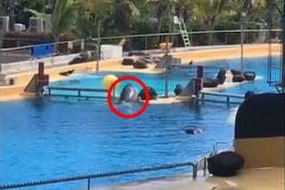 Mamma orca tenta disperatamente di raggiungere la figlia: divise nel parco acquatico, il video