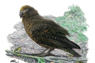 Pappagallo gigante estinto scoperto in Nuova Zelanda: l'Heracles inexpectatus era il più grande