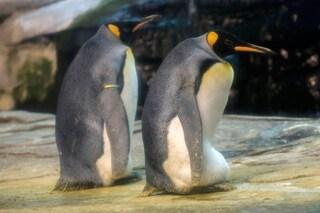 Ping e Skipper, pinguini gay, adottano un uovo abbandonato da una femmina per covarlo