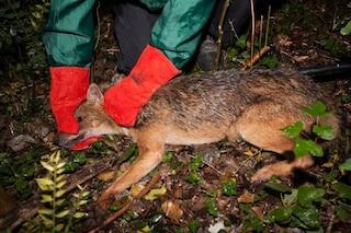 Ecco il primo, magnifico sciacallo dorato catturato in natura in Italia: Yama già rimesso in libertà