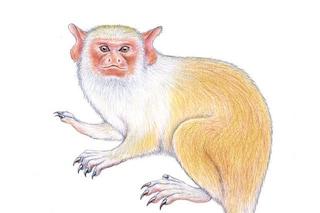 C'è una nuova specie di scimmia in Amazzonia: chi è la splendida marmosa Mico munduruku