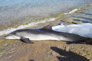 Strage di delfini in Toscana: trovata un'altra carcassa a Livorno. È la 18esima da luglio