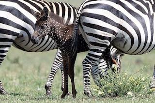 Tira, la zebra 'a pois' esiste e vive in Kenya: perché è mutata geneticamente e non ha strisce