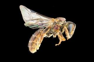 Nove nuove specie di api scoperte alle isole Fiji: quasi tutte sono già a rischio estinzione