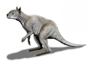 Lo stranissimo canguro gigante estinto con testa da koala, morso devastante e piedi con un solo dito