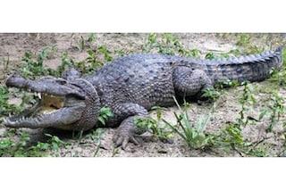 Scoperta una nuova specie di coccodrillo in Nuova Guinea: è lunga più di 3 metri