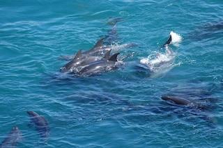 Riaperta la caccia ai delfini in Giappone, massacrata la prima famiglia. Da luglio uccise 150 balene