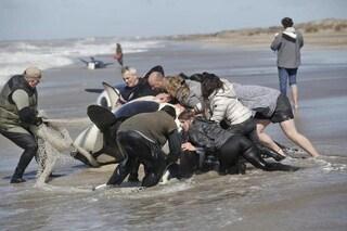 Sette orche spiaggiate in Argentina: decine di volontari ne salvano sei. Morta la più grande