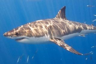 Perché gli squali bianchi sono spariti dalle coste del Sudafrica