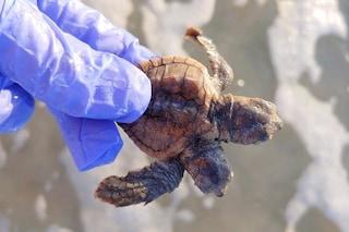 Rarissima tartaruga con due teste spunta dal nido: volontari la liberano in mare