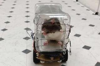 Questi ratti hanno imparato guidare e si divertono: ecco perché si rilassano nelle loro miniauto