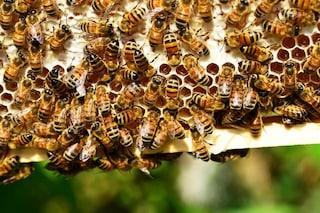 """L'Europa ha bandito l'insetticida thiacloprid, presunto """"killer"""" di api"""